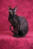 Cornish Rex cat. Photo of an Cornish Rex cat Stock Photography