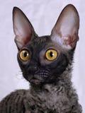 Cornish Rex cat. Closeup photo of an Cornish Rex cat Royalty Free Stock Photography