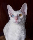 Cornish Rex Cat on Brown Background Stock Image