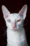 Cornish Rex Cat on Brown Background Stock Photo