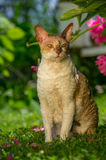 Cornish Rex Cat with Curly Hair Outdoors Royalty Free Stock Photo