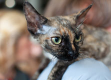 Cornish rex cat. Head macro shot royalty free stock photo