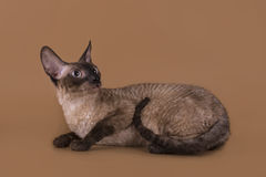 Cornish Rex cat isolated on a beige background.  Stock Image
