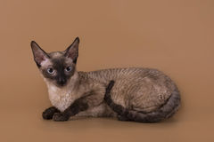 Cornish Rex cat isolated on a beige background.  Stock Photos