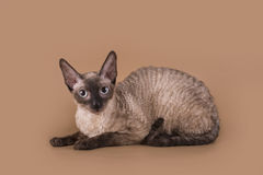 Cornish Rex cat isolated on a beige background.  Stock Images