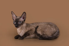 Cornish Rex cat isolated on a beige background.  Royalty Free Stock Images