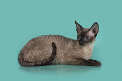 Cornish Rex cat isolated on a blue background.  Royalty Free Stock Images