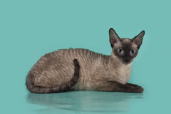Cornish Rex cat isolated on a blue background.  Royalty Free Stock Image