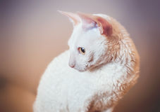 Cornish Rex cat looking left Stock Photos