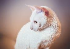 Cornish Rex cat looking left Stock Photos