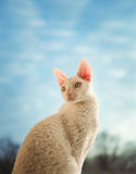 Cornish Rex cat looking left Royalty Free Stock Images