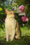 Cornish Rex Cat Outdoors Stock Photography