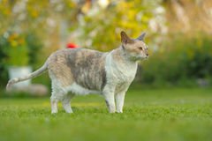 Cornish Rex Cat Outdoors on Green Lawn in Summer Stock Photo