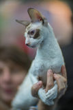 Cornish Rex cat. Portrait - blurred background Royalty Free Stock Photo