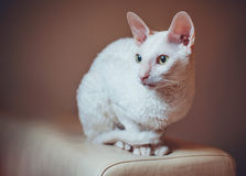 Cornish Rex cat sitting royalty free stock images