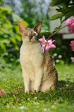 Cornish Rex Cat Sitting on Green Lawn Royalty Free Stock Photos