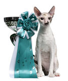 Cornish Rex cat sitting next to a cup Royalty Free Stock Image