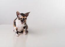 Cornish Rex Cat Sitting on the White Desk. White Background. Open Mouth Royalty Free Stock Images