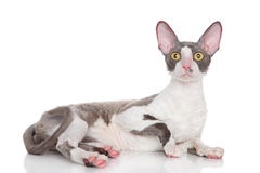 Cornish rex cat on a white background Royalty Free Stock Images