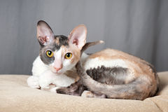 Cornish Rex Cat. Young beautiful cat cornish rex stock images