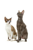 Cornish Rex cats. Closeup of two Cornish Rex cats isolated on white background Stock Image