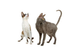 Cornish Rex cats. Closeup of two Cornish Rex cats isolated on white background Stock Photos