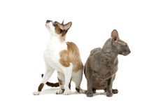 Cornish Rex cats. Closeup of two Cornish Rex cats looking away from each other, isolated on white background Royalty Free Stock Photography