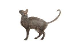 cornish rex för katt Arkivbild