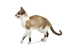 cornish rex för katt Arkivfoton
