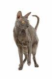 cornish rex för katt Fotografering för Bildbyråer