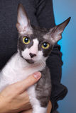 cornish rex för katt Royaltyfria Bilder