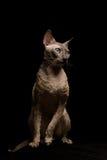 cornish rex för katt Arkivfoto