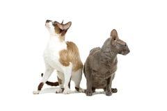 cornish rex för katter royaltyfri fotografi