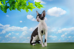 Cornish Rex in the grass on a sunny day Royalty Free Stock Photography