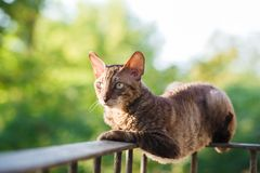 Cornish rex gray cat Royalty Free Stock Photo
