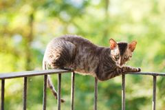 Cornish rex gray cat Royalty Free Stock Photography