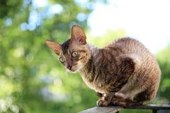 Cornish rex gray cat. Sitting on railing Stock Images
