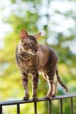 Cornish rex gray cat Stock Photography