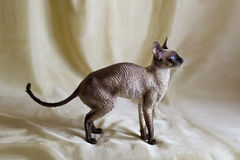 Cornish Rex katt Arkivbild