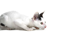 Cornish Rex kitten Stock Photography
