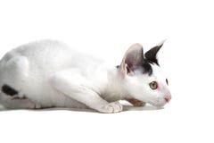 Cornish Rex kitten. Isolated on white background Stock Photography