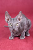 Cornish Rex kitten Royalty Free Stock Image