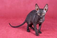Cornish Rex kitten Royalty Free Stock Photos