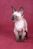 Cornish Rex kitten Royalty Free Stock Images