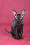 Cornish Rex kitten Royalty Free Stock Photography