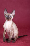 Cornish Rex kitten Stock Image