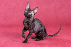 Cornish Rex kitten Royalty Free Stock Photos