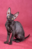 Cornish Rex kitten Stock Photos