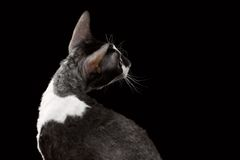 Cornish Rex Looking Back Isolated on Black Royalty Free Stock Images