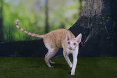 Cornish Rex is playing on the grass a summer day.  Royalty Free Stock Photo